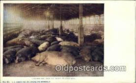 pig001025 - Pig, Pigs, Postcard Postcards