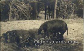 pig001036 - Pig, Pigs, Postcard Postcards