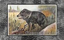 pig001093 - Texas Peccary  Postcards Post Cards Old Vintage Antique
