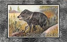 pig001094 - Texas Peccary  Postcards Post Cards Old Vintage Antique