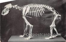 pre000006 - Skeleton of Cave Bear Field Museum of Natural History, Chicago, USA Postcards Post Cards Old Vintage Antique