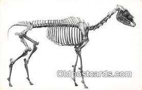 Equus Occidentalis