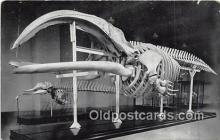 Skeleton of Right Whale