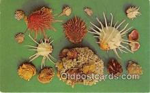 she001027 - Shells Florida, Gulf of Mexico Postcards Post Cards Old Vintage Antique