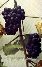 stl001006 - Vitis Vinifera-Wein Still Life Postcard Post Cards Old Vintage Antique