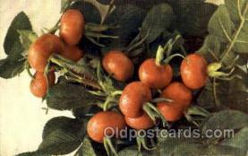 stl001024 - Rosa Rugosa, Grossfruchtige Hagebutte Still Life Postcard Post Cards Old Vintage Antique