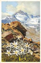 sub000469 - Leontopodium alpinum