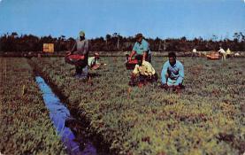 sub001253 - Cranberry Harvesting, Cape Cod, MA, USA
