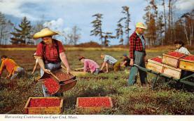 sub001259 - Harvesting Cranberries on Cape Cod, MA, USA
