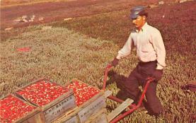 sub001263 - Harvesting Cranberries on Cape Cod, MA, USA