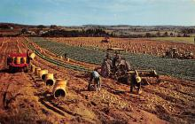 sub001423 - Potato Harvest in Aroostook County, ME, USA