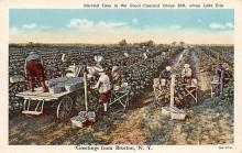 sub001429 - Harvest Time in the Great Concord Grape Belt, along Lake Erie