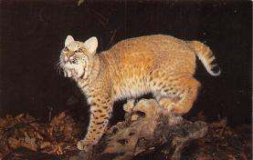 sub063255 - Bob Cat, Lnyx Rufas Postcard