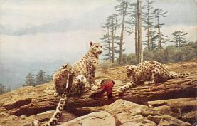 sub063257 - Snow Leopard Post Card