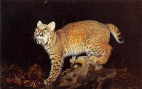 sub063261 - Bob cat Lnyx Rufus Post Card