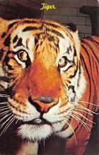 sub063267  Tiger Post Card