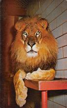 sub063271  Lion Post Card