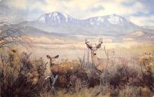 sub063273 Western White Tailed Deer Post Card