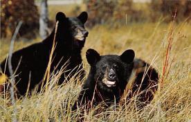 sub063371 - Bears Post Card