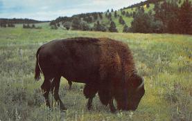 sub063453 - Buffalo Post Card