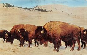 sub063455 - Buffalo Post Card