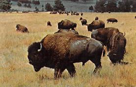 sub063463 - Buffalo Post Card
