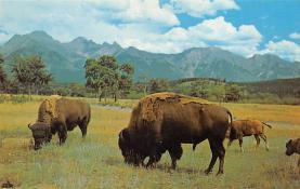sub063465 - Buffalo Post Card