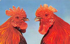 sub063469 - Chicken Post Card