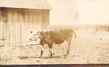 sub063495 - Cows Cattle Post Card