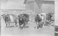 sub063497 - Cows Cattle Post Card