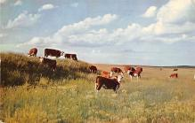 sub063507 - Cows Cattle Post Card