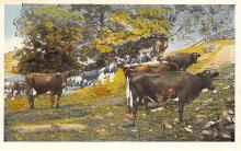 sub063509 - Cows Cattle Post Card