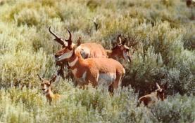 sub063515 - Deer Post Card