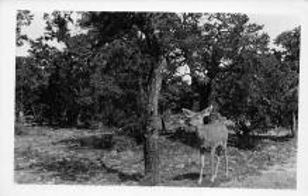 sub063517 - Deer Post Card