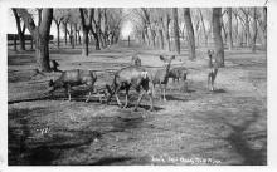 sub063519 - Deer Post Card