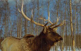 sub063525 - Deer Post Card