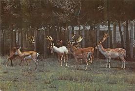 sub063529 - Deer Post Card