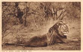 sub063607 - Lion Post Card