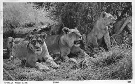 sub063609 - Lion Post Card