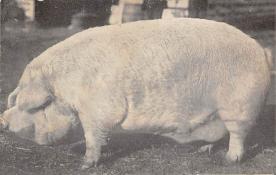 sub063773 - Pig Post Card