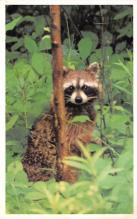 sub063791 - Raccoon Post Card
