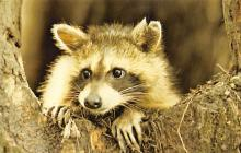 sub063793 - Raccoon Post Card