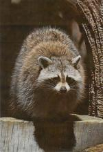 sub063803 - Raccoon Post Card