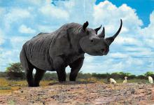 sub063835 - Rhino, Hippo Post Card