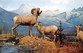 sub063845 - Sheep Post Card