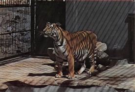 sub063863 - Tiger Post Card