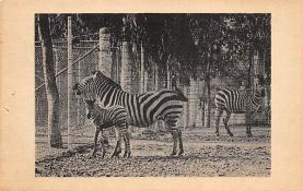 sub063901 - Zebra Post Card