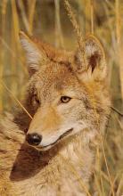 sub063913 - Coyote Post Card