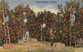 sub064413 - Orange Groves Post Card