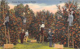 sub064415 - Orange Groves Post Card